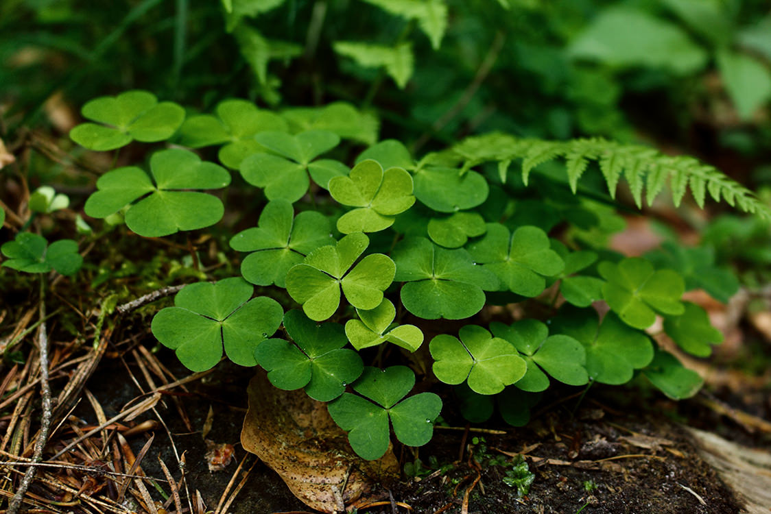 Getting Rid Of Clover In Your Lawn Horsham Instant Turf